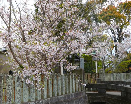 境内入り口桜