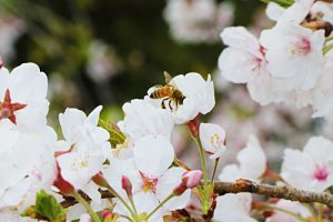 H31桜と蜂