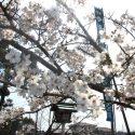 2018春祭り桜